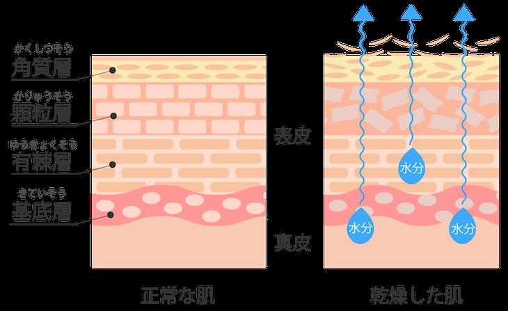お肌の構造 セラミド