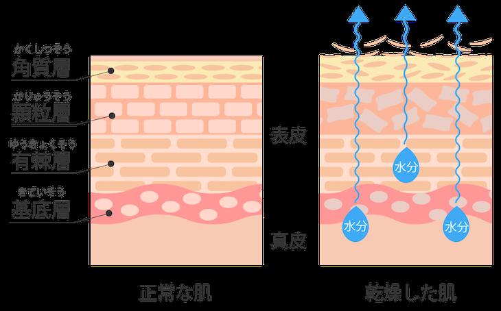 表皮 構造 図解