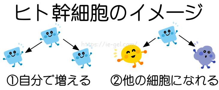 ヒト幹細胞のイメージを図解